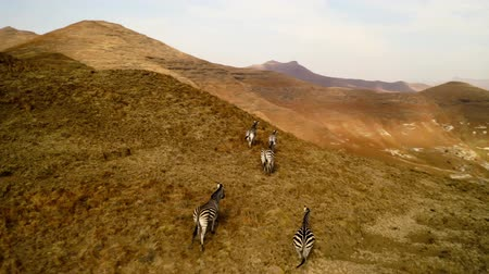 wilderness : Zebras Running On The Hills In South Africa