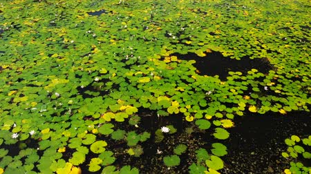 pantanal : Pond With Water Lilies. Other Aquatic Plants Stock Footage