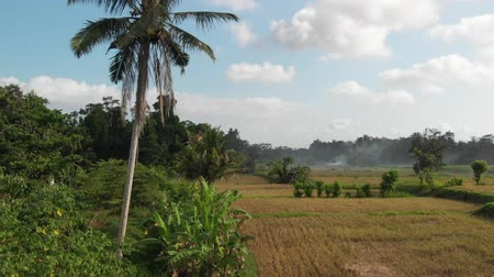tahıllar : Beautiful Terraced Rice Fields. Paddy Field. Palm Trees. Bali. Indonesia