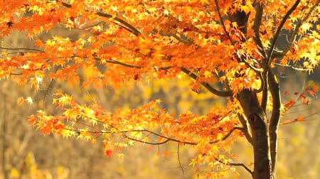 red maple : Leaf fall in autumn forest.