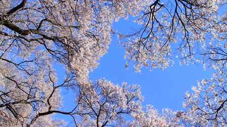 cereja : Cherry blossom with blue sky in background.