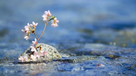 cereja : Cherry twig in rapid stream of a mountain river.  Stock Footage
