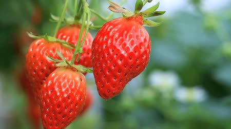 cultivar : Harvesting Strawberries.