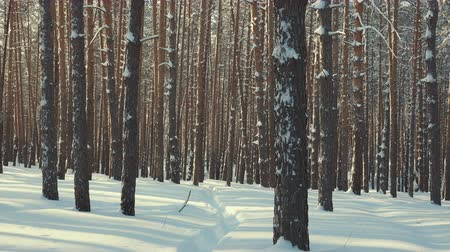 szron : winter forest panorama