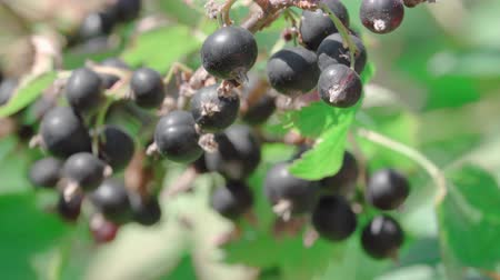 смородина : In this stock video, a close-up and focus on the berry of a ripe black currant that grows on a green bush is demonstrated.