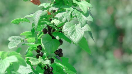 смородина : This stock video demonstrates a ripe black currant that grows on a large bush with green leaves.