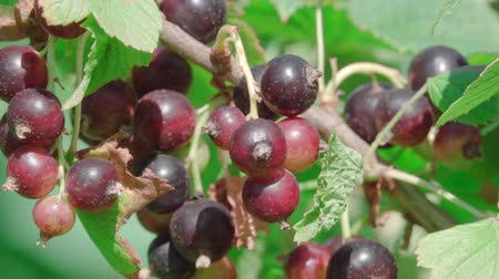 antioksidan : In this stock video, a close-up and focus on the berry of a ripe black currant that grows on a green bush is demonstrated.
