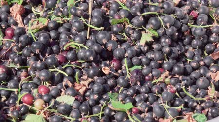 fresh produce : fresh harvest of black currant Stock Footage