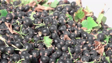 смородина : fresh harvest of black currant Стоковые видеозаписи