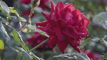 bársony : In this stock video, a red rose with dew drops on a large bush is demonstrated close up Stock mozgókép