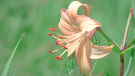 estames : This stock video demonstrates an orange lily close-up that moves in the wind.