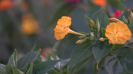 mozog e fel : In this stock video, an orange flower similar to a bell close-up that moves in the wind is demonstrated Stock mozgókép