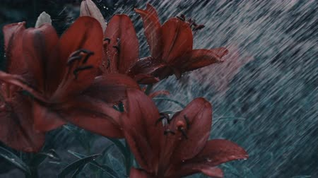 srážky : This stock video shows water on red lilies at night. Dostupné videozáznamy