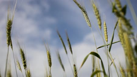 Blurred view of the horizon and the sky with clouds through the green ears of wheat (rye) in the field Стоковые видеозаписи