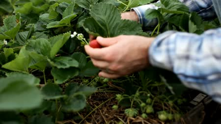 Hand holding red strawberries from the Bush Стоковые видеозаписи