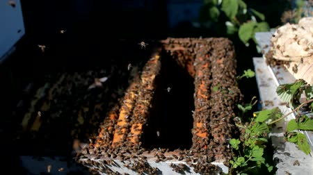 worker bees : Frames of a bee hive. Beekeeper harvesting honey. The bee smoker is used to calm bees before frame removal. Beekeeper Inspecting Bee Hive