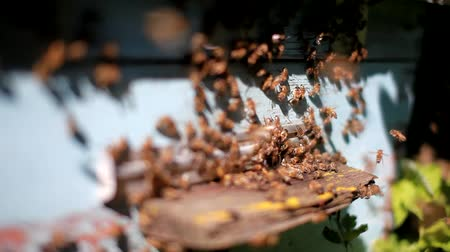 Close up of the bees flying in and out of their hives. Some of the bees carry golden pollen lumps on their legs