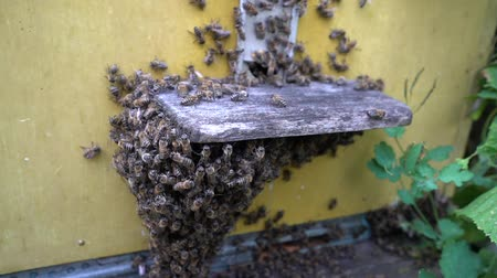 опылять : Honey bees infront of hive enterence