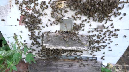 apiary : Honey bees infront of hive enterence