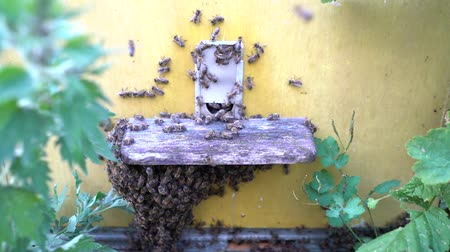 Honey bees infront of hive enterence