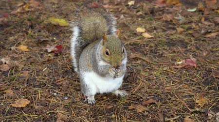 squirrel fur : Gray squirrel in the autumn park eats nuts Stock Footage