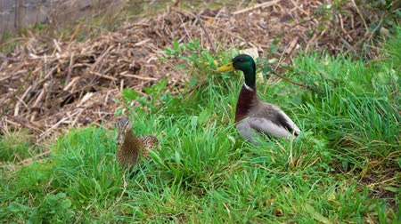 yeşilbaş : Two wild ducks walk on the grass. A couple of wild ducks eat the green grass