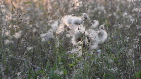 сорняки : Weeds at a  sunset in the breeze