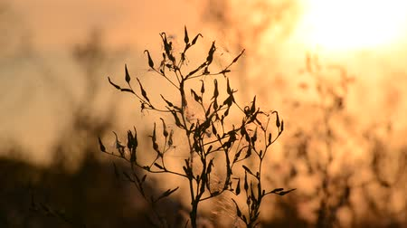 esinti : Weeds at a  sunset in the breeze
