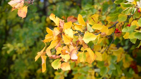 briar : Hawthorn autumn with berries and a yellow leaves