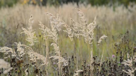 pogoda : autumn grass swaying in the wind Wideo