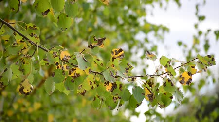 rustik : A poplar leaves in the autumn wind Stok Video