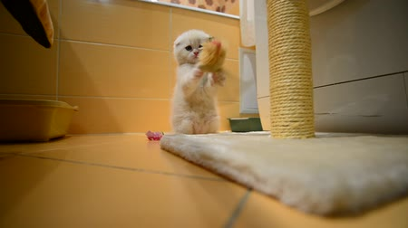kimse : Beige kitten playing with a toy and a scratching post