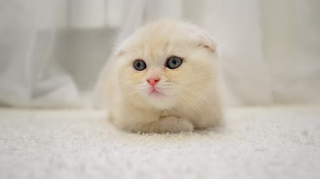 kotě : amusing kitten shakes his head lying on the carpet in the room Dostupné videozáznamy