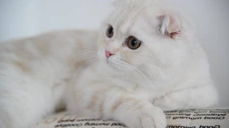 kotě : Beige Scottish Fold kitten 4 month lay back on  couch