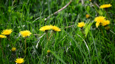 reen : spring yellow dandelions in breeze
