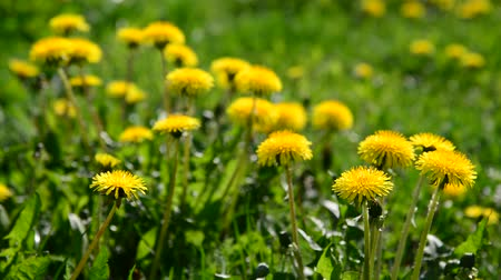 reen : lot of yellow dandelions in meadow Stock Footage