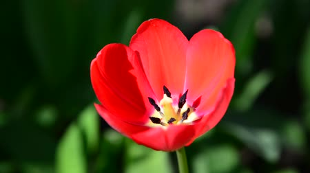 tulipany : One red tulip in  breeze Wideo