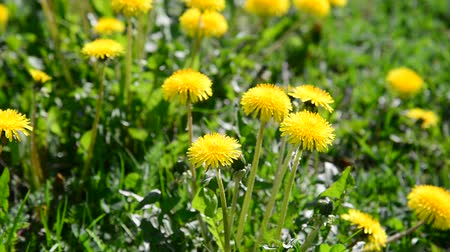 reen : Glade of yellow dandelions in wind