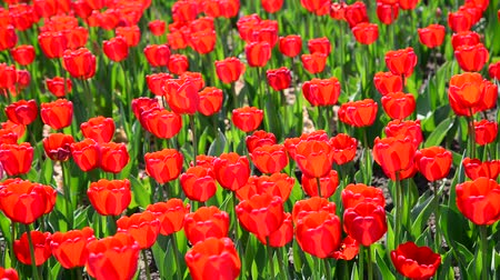 tulipany : Many varietal red tulips on  flowerbed Wideo
