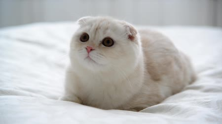 kotki : Beige Scottish Fold kitten 7 month lay back on couch