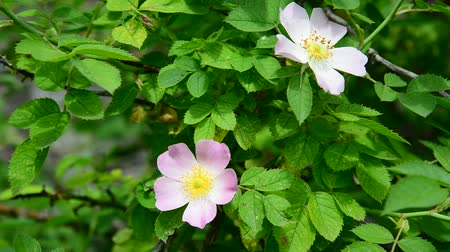 rosehips : Pink flowers of wild rose in spring