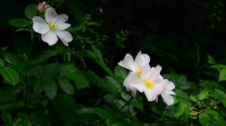 rosehips : White wild rose flowers in spring