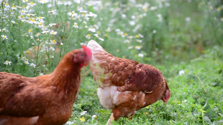food court : Pedigree Hens eating grass in nature