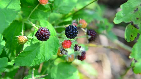 feltörés : blackberries on branch. Summer sunny day Stock mozgókép
