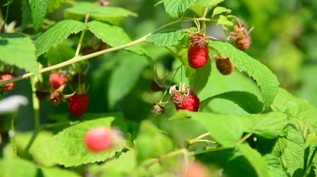 polního : raspberry on branch. Summer sunny day