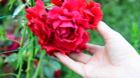 polinização : Female hand touching the red roses in garden