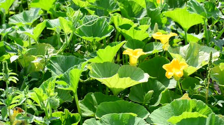 vegetable marrows : Field pumpkin with yellow flowers Stock Footage