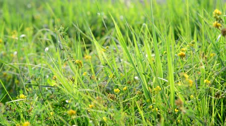 reen : fragment of meadows with grass and yellow flowers