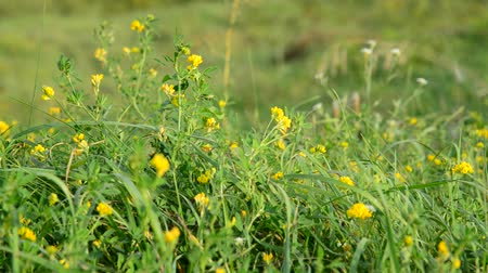 reen : Field yellow clover in grass Stock Footage