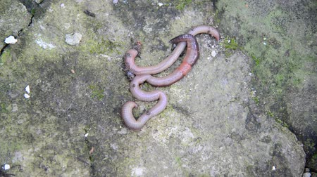 squirm : The earthworms are on stone